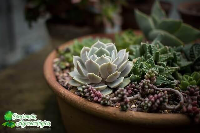 plantas suculentas en macetas