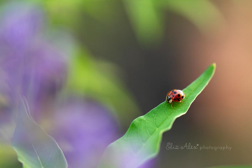 ladybug woodlands texas macro
