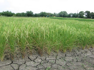 drought-resistant rice