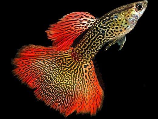 budidaya ikan guppy menggunakan ember