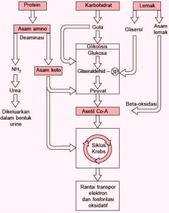 Proses Katabolisme Karbohidrat : proses, katabolisme, karbohidrat, HUBUNGAN, KATABOLISME, KARBOHIDRAT,, PROTEIN, LEMAK, Biologi