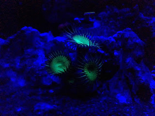 coral fluorescent