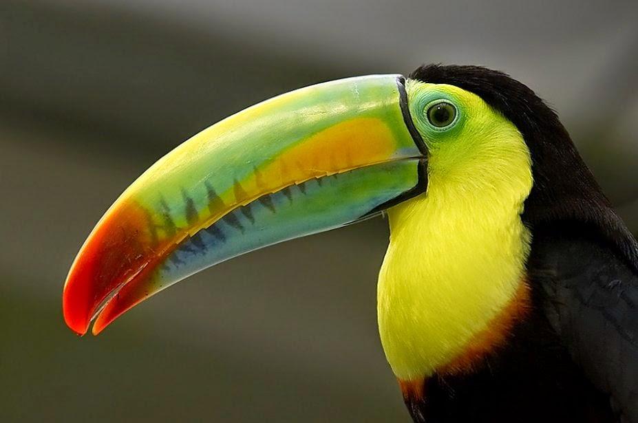 Foto de colorido tucan