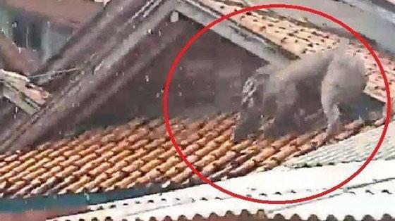 Video Babi Hutan Diatas Genting Yang Mendadak Viral