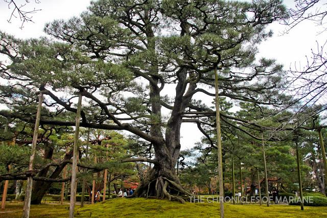 japan tree