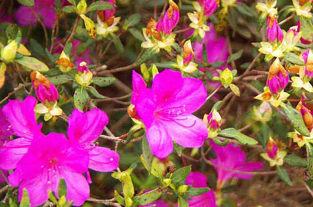 purple azaleas, flower-buds