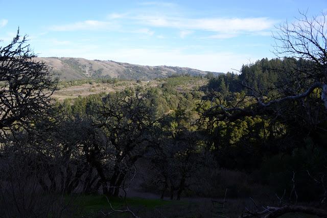 oaks and evergreens