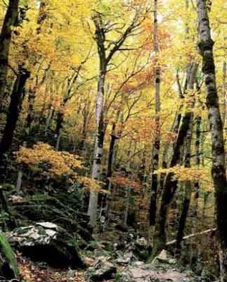 bosque hayas ordesa otono