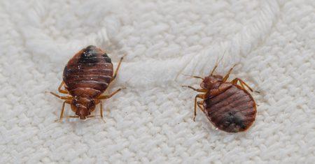 cómo eliminar chinches de cama Castellón