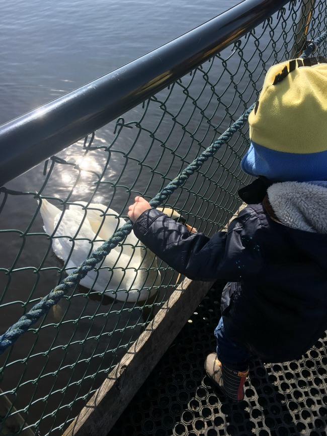 Our-weekly-journal-10-April-toddler-looking-at-swan-at-Newport-Wetlands