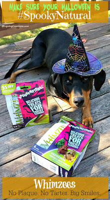 doberman mix puppy in witch hat halloween