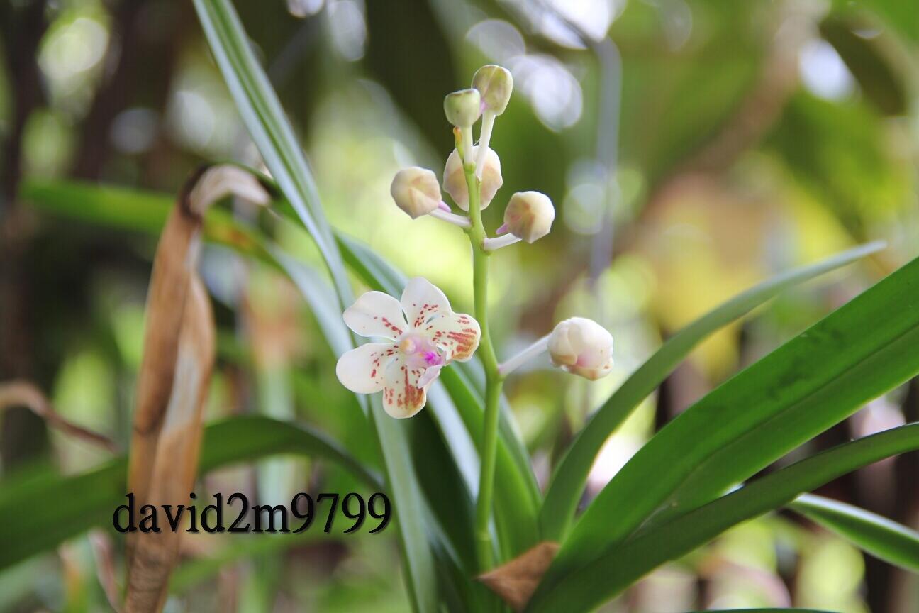 Phalaenopsis aphrodite subsp. formosana 臺灣蝴蝶蘭臺灣阿嬤.臺灣阿婆: Vanda lamellata Lindl- clump-(. Lanyu)臺灣蘭嶼雅美萬代 ...