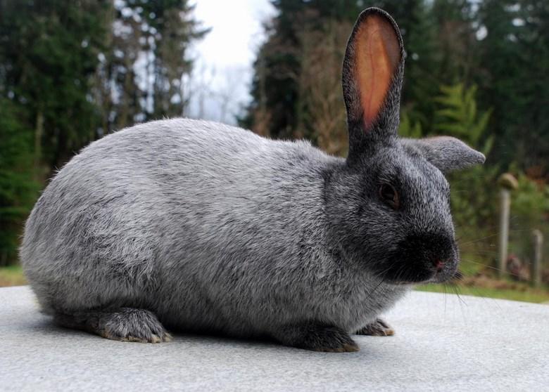 Kelinci Lucu ukuran raksasa ginat Flemish dari amerika unik dan tidak bisa sebesar kambing domba sapi