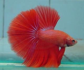 Ikan Cupang Terbagus