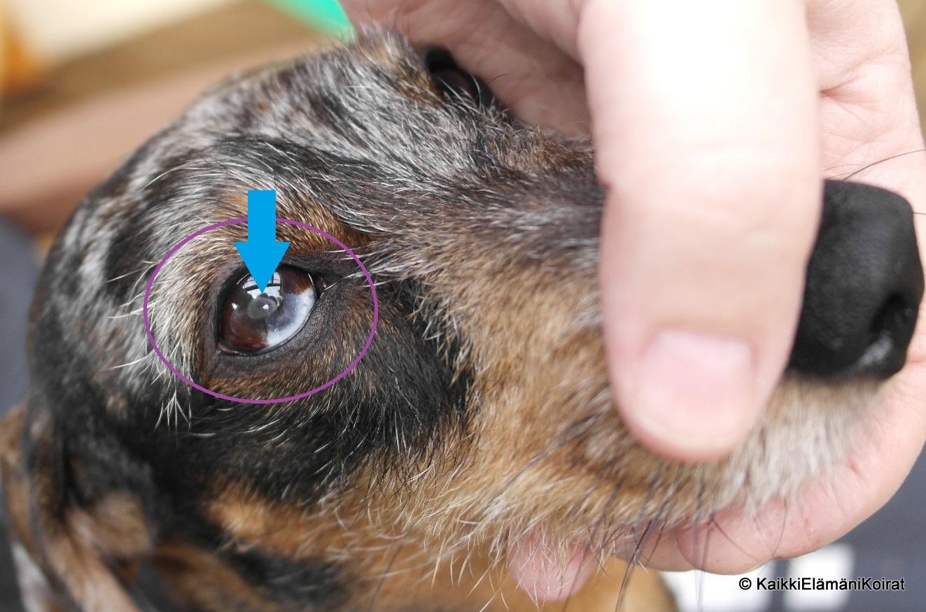 Koirien Silmäsairaudet