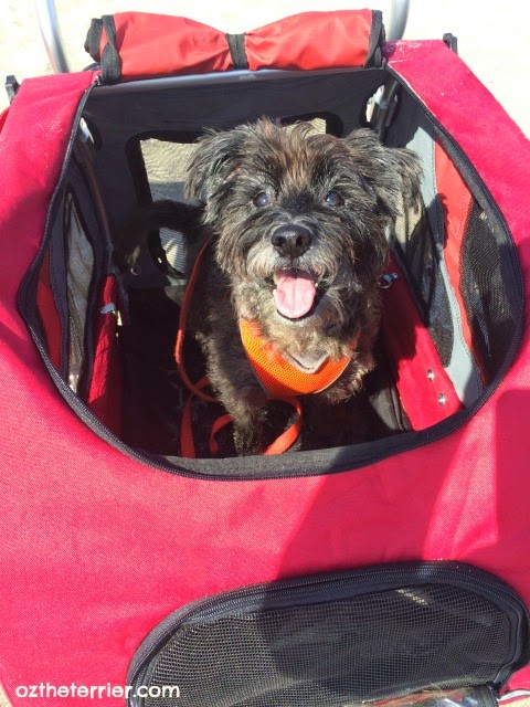 Oz the Terrier in Solvit Products HoundAbout II Bike Trailer converted to all-terrain stroller