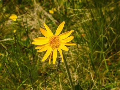 arnica, bunga arnica, salep arnica, manfaat arnica, herbal, Manfaat Kesehatan,