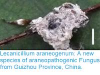 http://sciencythoughts.blogspot.co.uk/2017/04/lecanicillium-araneogenum-new-species.html