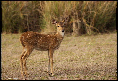 Spotted deer, Kanha National Park