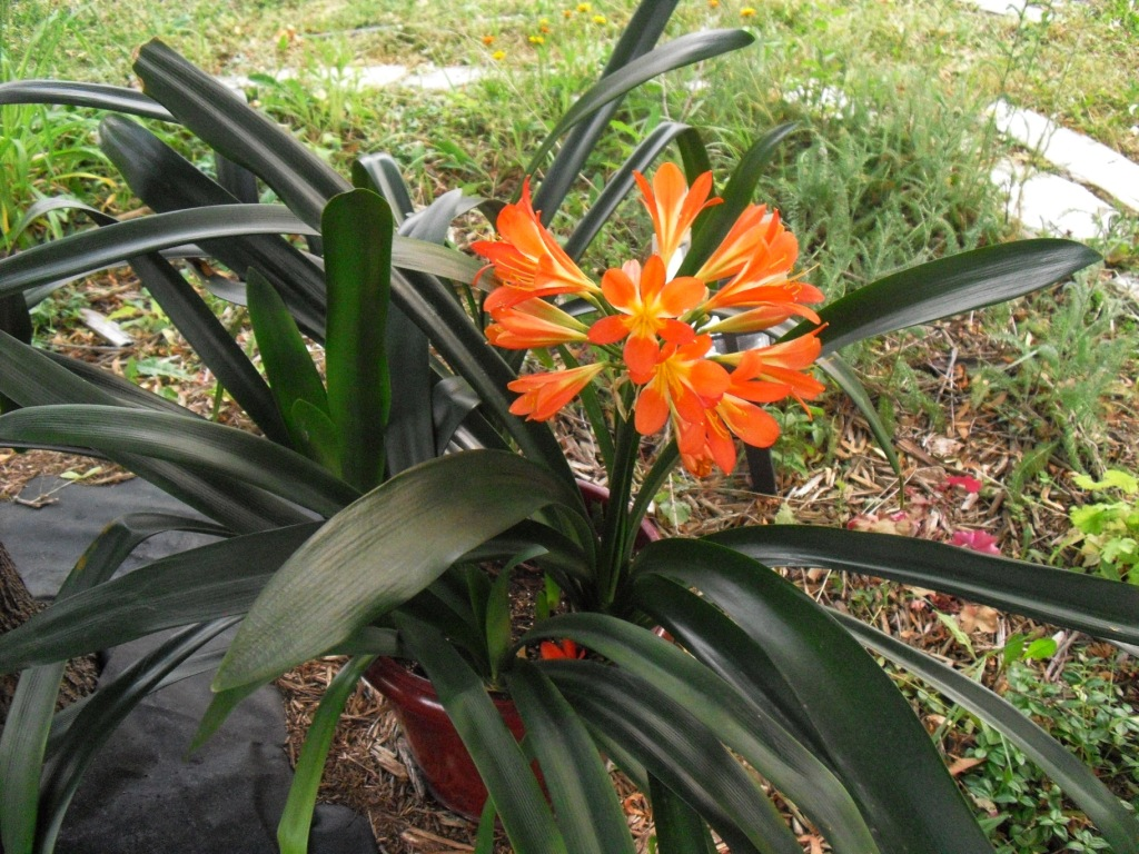 Life Among The Leaves Impatience Rewarded Blooming Clivia