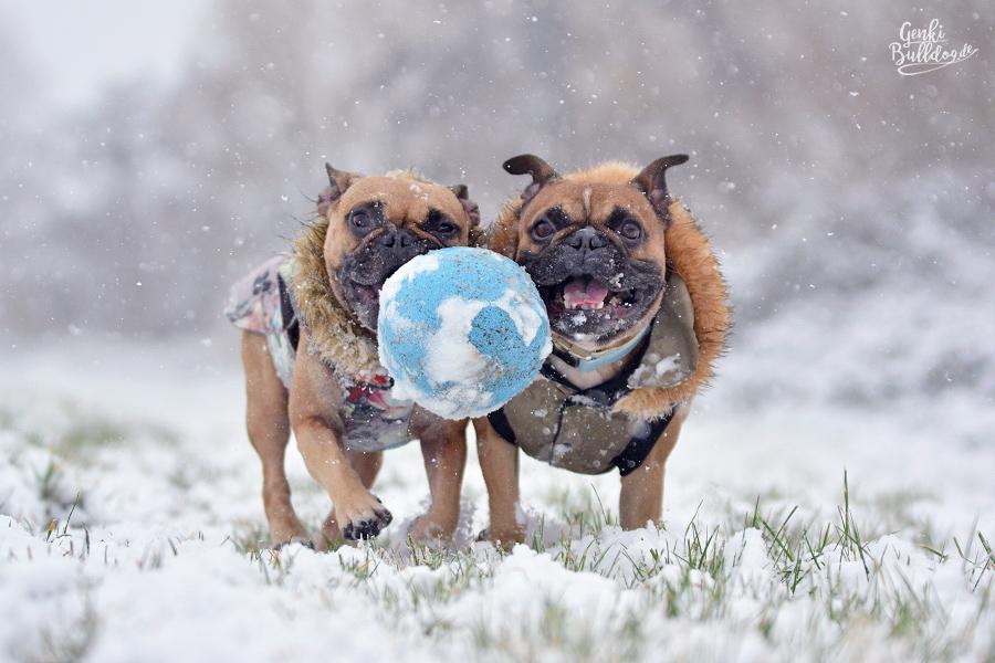Französische Bulldogge im Schnee Hundeblog