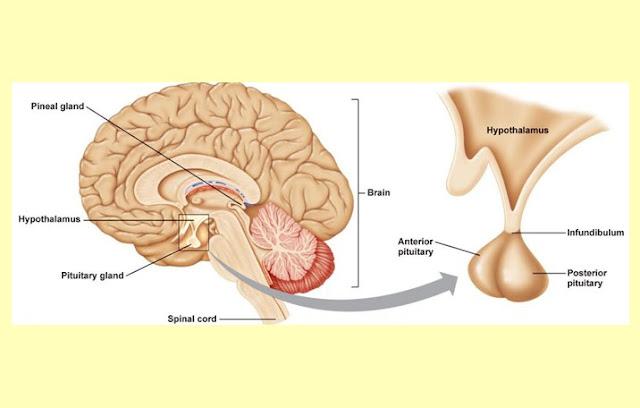 Pengertian Kelenjar Hipofisi, Fungsi Kelenjar Hipofisis, Hipofisis Anterior, Hipofisis Posterior