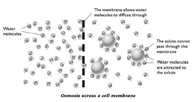 # 25 Passive and active transport across cell membranes