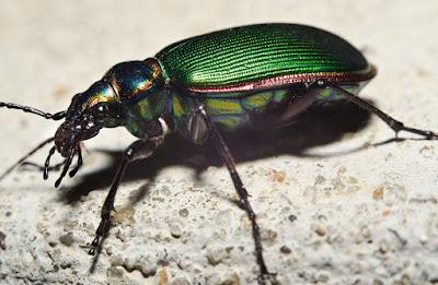 penggolongan ordo insekta berdasarkan