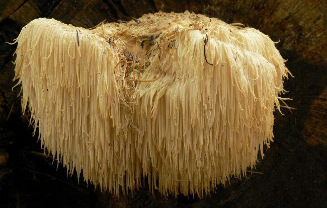 I benefici del fungo Hericium erinaceus