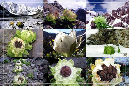 The Health Station Snow Lotus 天山雪莲