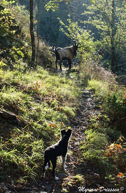 puppy Border collie in front of a billy goat