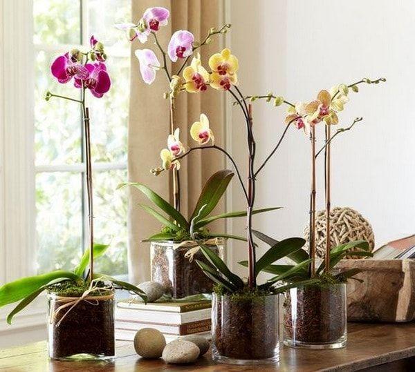 phalenopsis-orquidea