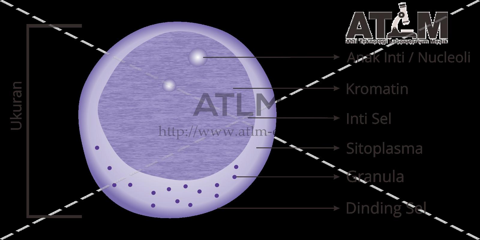 leukocyták a prosztatitis kenetben