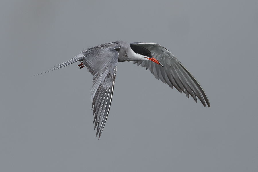White-cheeked Terns – Jubail