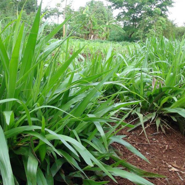 Gini Grass Image