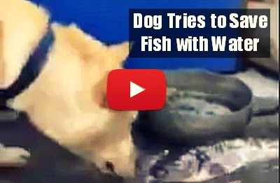 Watch How this Dog desperately tries to save the dying fishes with water  via geniushowto.blogspot.com emotional dog videos