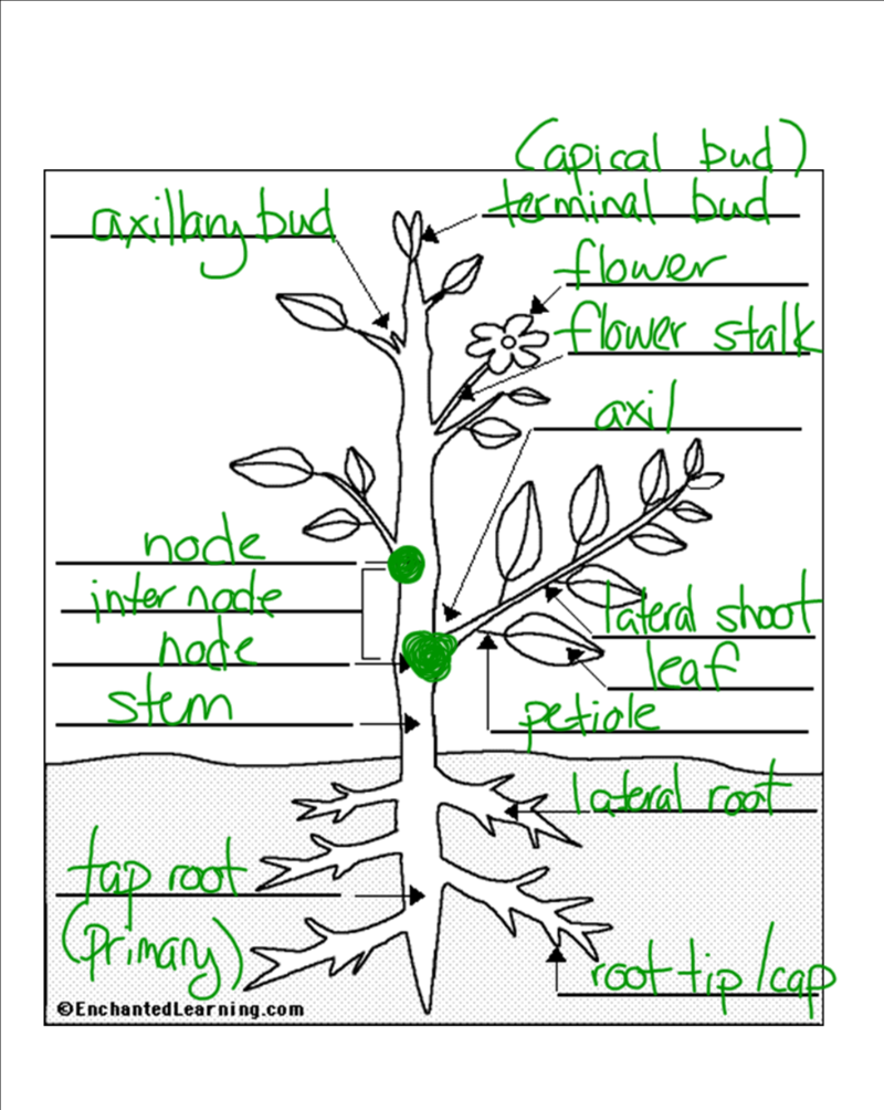 Worksheet Parts Of Plants