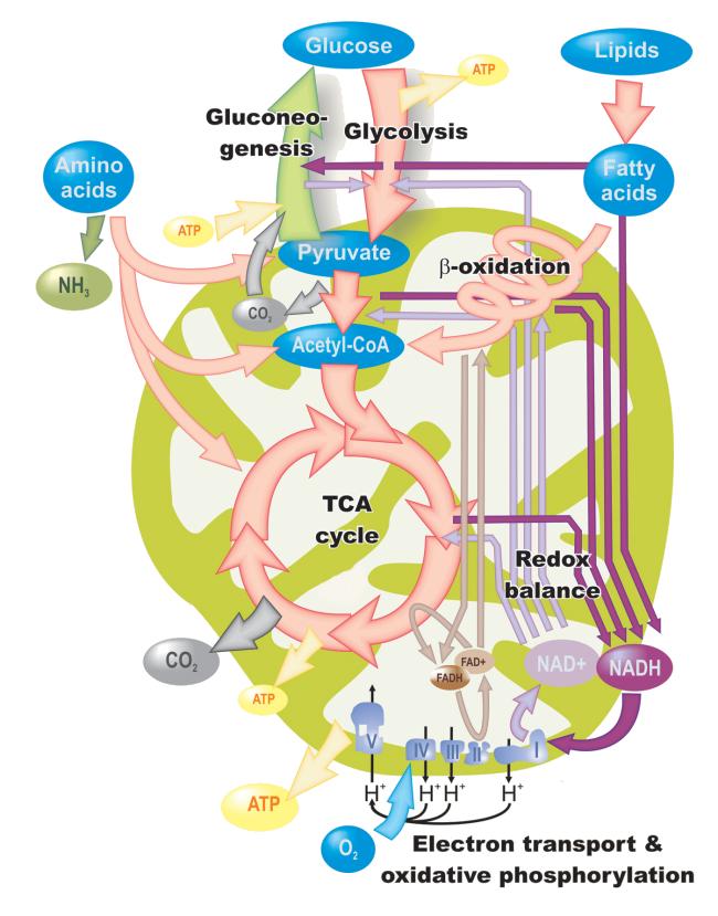 Hierba para acelerar el metabolismo