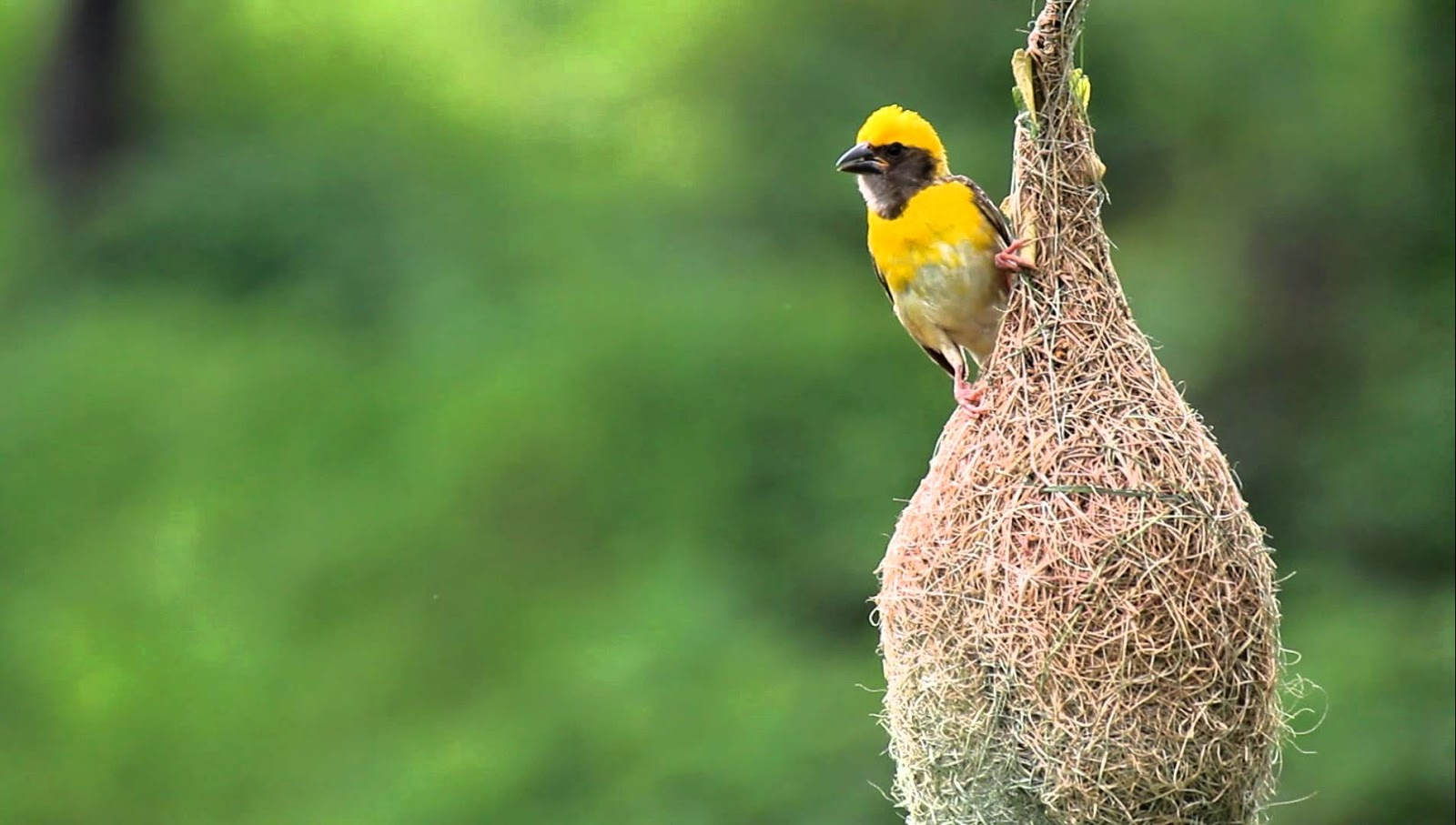Pets Animals And Pet Birds Baya Weaver Indian Weaver Birds