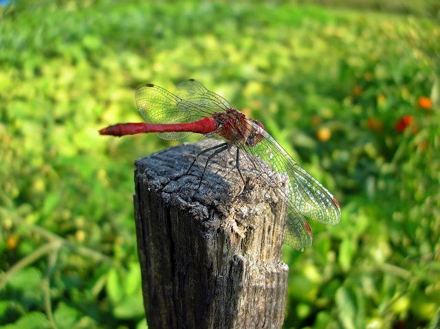 owady, ważki, fauna, na działce