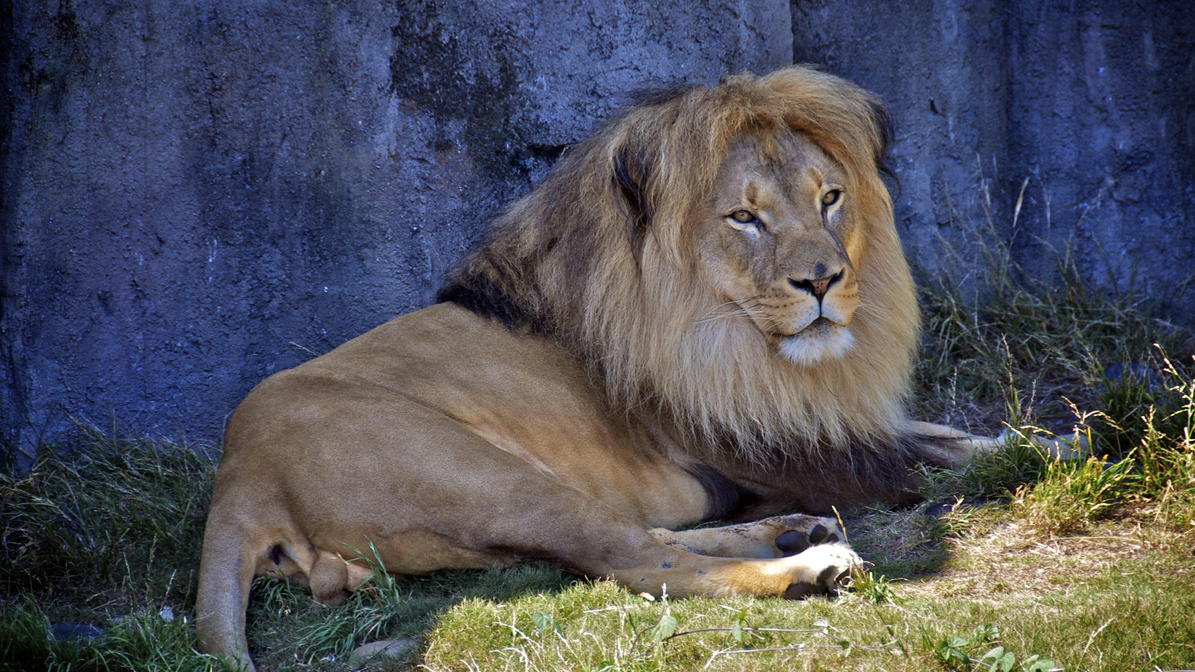 Male Lion Wallpaper Hd