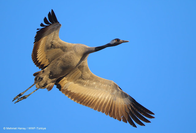 wwf turnalar hep uçsun türkiyenin canı doğal hayatı koruma vakfı