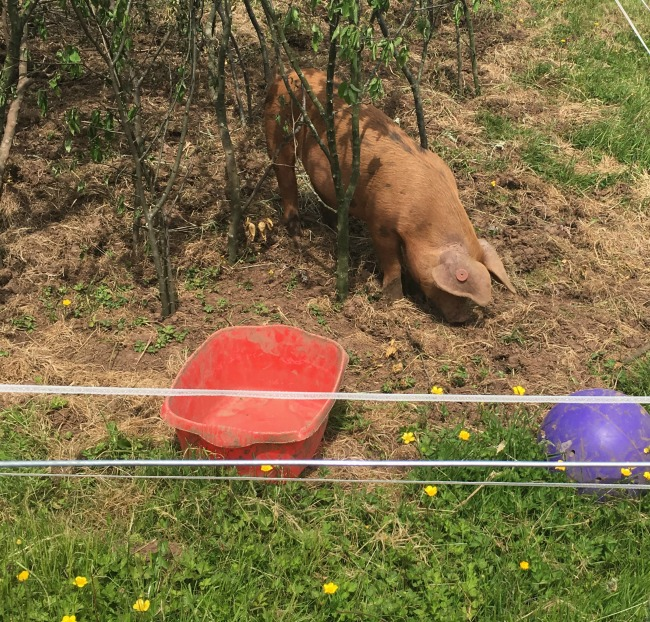 Piglet-Tigger-and-Pooh-piglet-at-Dyffryn-Gardens