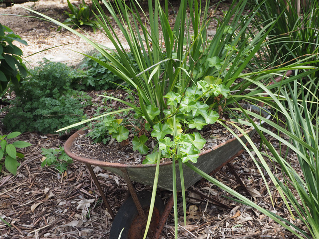 Recycle a wheelbarrow and turn it into a garden container for dietes, erigeron and ivy geranium ~ Threading My Way
