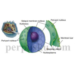 Gambar Nukleus
