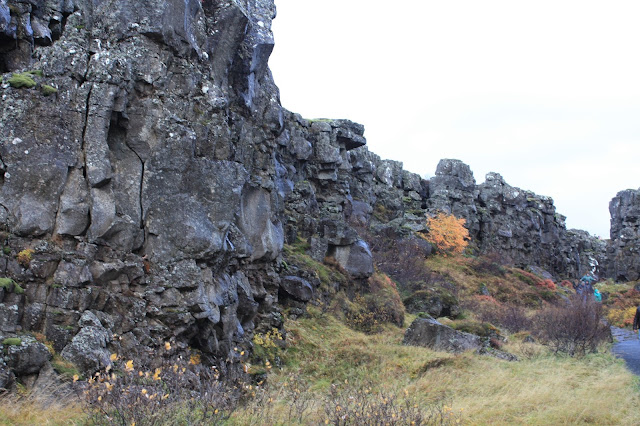 Yellow popping throughout Thingvellir in Iceland.