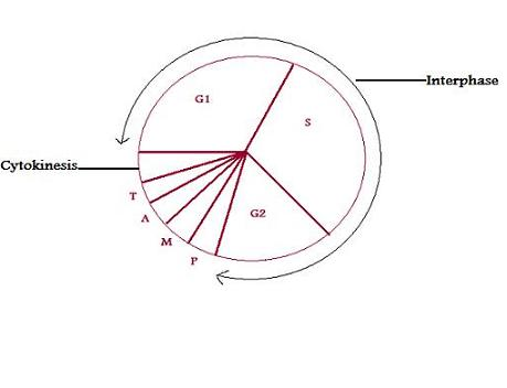 What is Cell Cycle? What are the Different Phases of a Cell Cycle