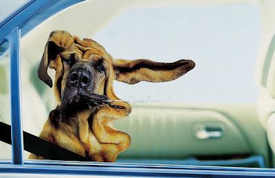 Hund im Auto sabbert witzig lustige Tierbilder