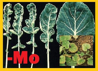 Dampak Molibdenum (Mo) pada Tanaman Hidroponik