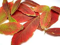目薬木の紅葉